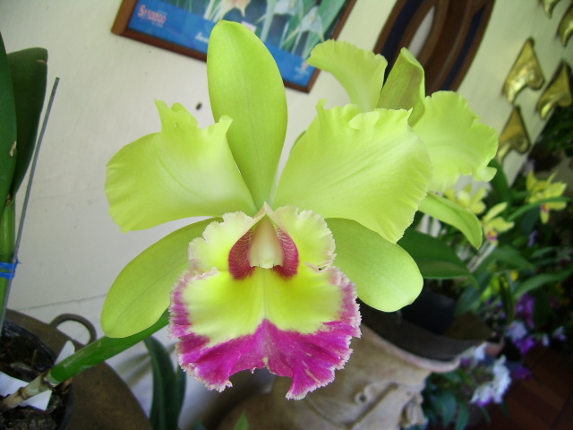 Orquídeas fosforescentes amaneceres de cartón
